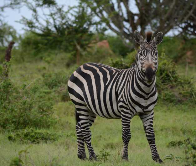 Solo Burchell Zebra spotted in the green land of lake Mburo NP.