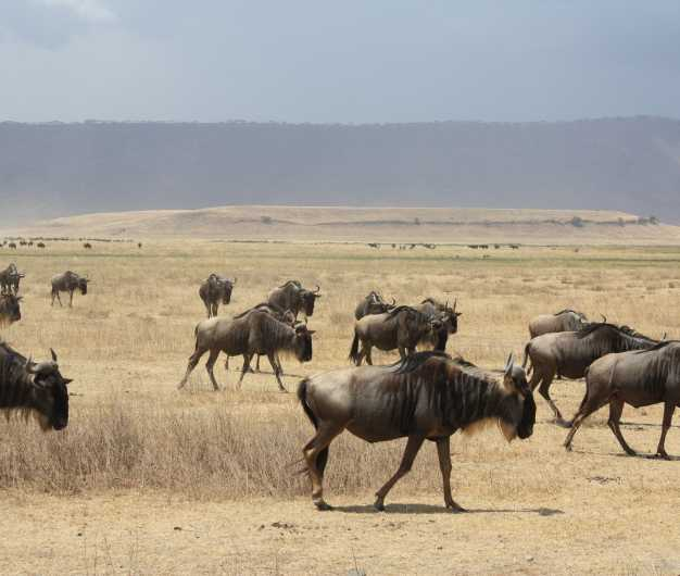 STOP! It's a wildebeest crossing ;) - Ngorongoro Crater