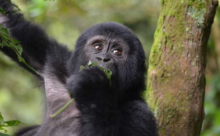 Young Silverback gorilla peacefully chewing the plant roots and leaves.