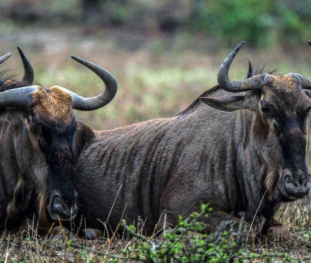 Relaxing wildebeests, Lake Manyara National Park