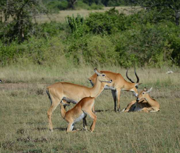 Impalas relaxing and feeding younger ones in the Queen Elizabeth NP.
