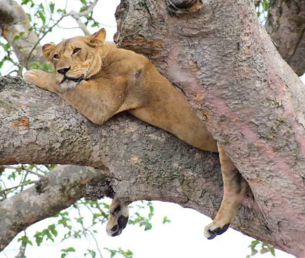 A tree-climbing lion taking shade from the scorching heat of the sun, Lake Manyara National Park