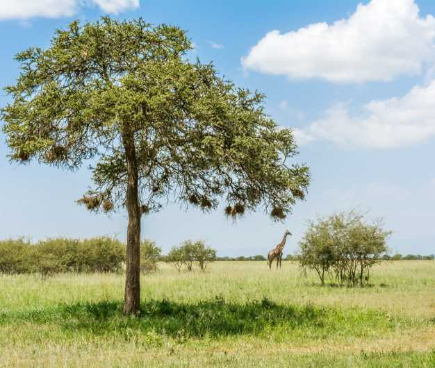 A giraffe grazing in the lush green pastures, Tarangire National Park