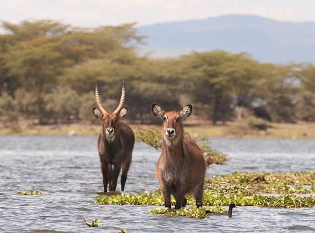 Water bucks enjoying in the Lake Naivasha. Photo taken from Crescent Island