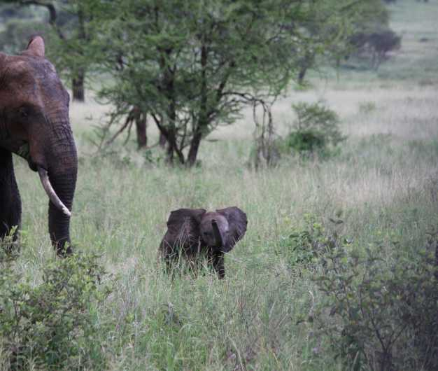 A female elephant taking a stroll through the bushes of Tarangire National Park with her young one