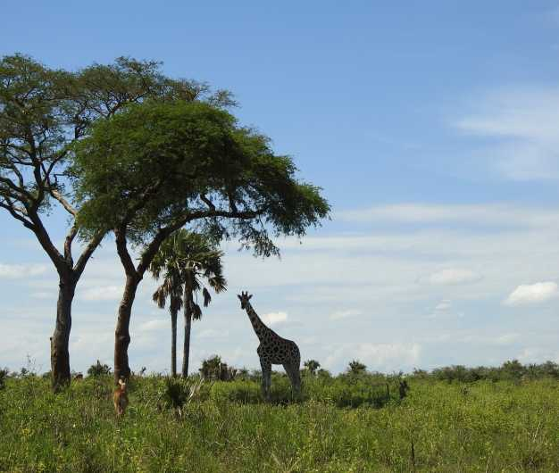 Big Male Giraffe crushing the branches of trees in Murchison Falls National Park.