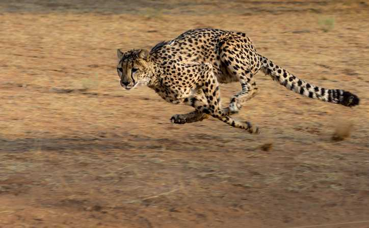 Cheetah in action, Masai Mara National Reserve.