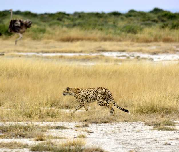 A cheetah wandering on the dry river bed in search of prey, Tarangire National Park