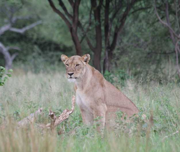 A lioness keenly observing her prey from the bushes, Lake Manyara National Park