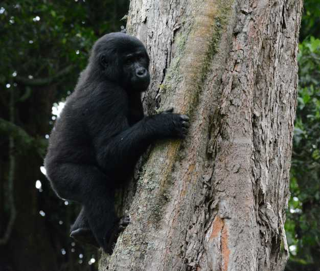 Young mountain gorilla climbing the tree in the Bwindi Impenetrable National Park.