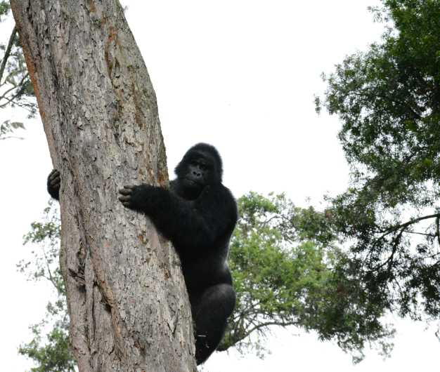 Mountain gorilla trekking the top of the tree in Bwindi National Park.