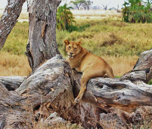 A young lion relaxing on a fallen tree, Serengeti National Park
