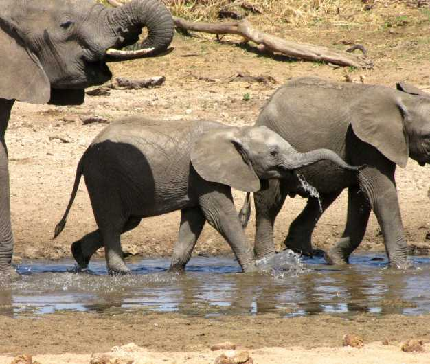 Elephants quenching their thirst from the Tarangire river