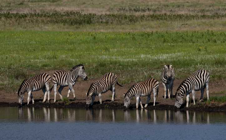 A dazzle of zebras quenching their thirst from a waterhole in Serengeti