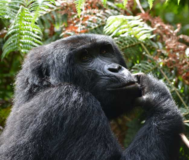 Mountain gorilla searching for food in the deep thick forest.