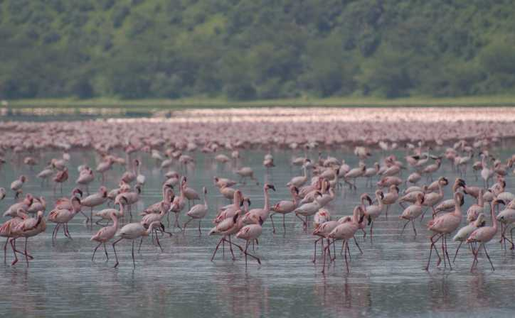 Lake Nakuru filled with Greater and Lesser Pink Flamingos.