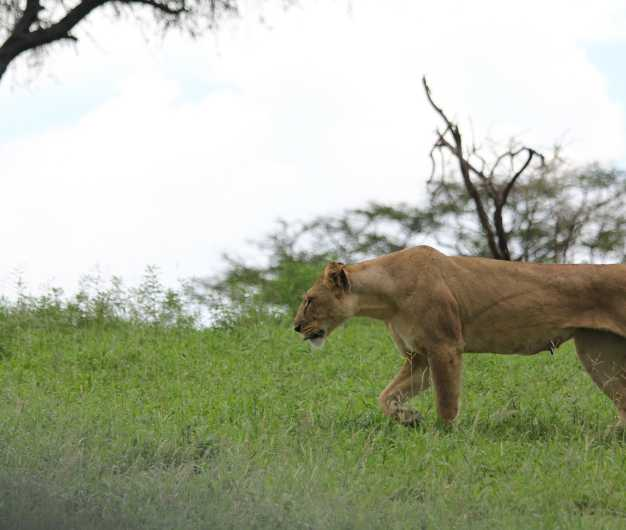 A lioness strolling through the green pastures, Tarangire National Park