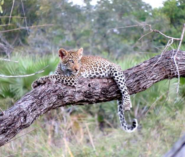 A young leopard prying on its prey, Serengeti National Park