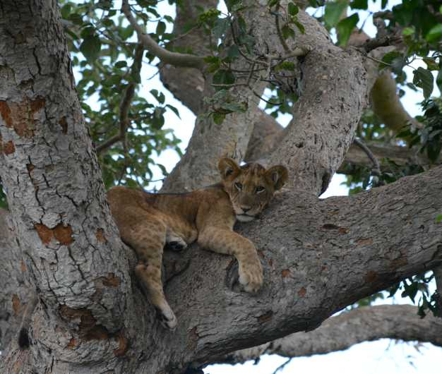 A young lion resting on the branches of huge fig tree staring down at the numerous Uganda Kobs that are grazing in the open Ishasha plains.