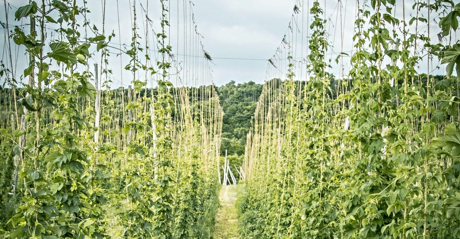 Weathering Changes in the World of Hops Primary Image