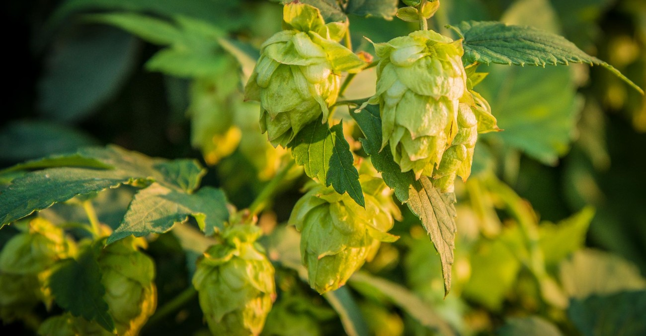 Homebrewing with Homegrown Hops Primary Image