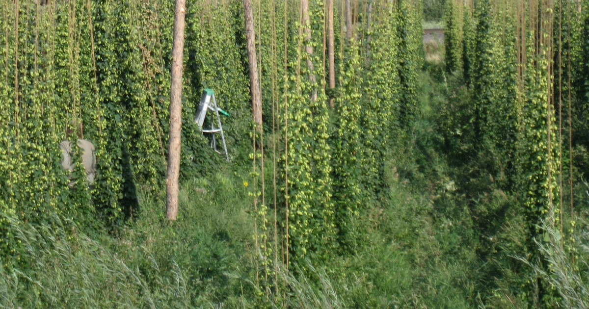 7 Steps to Growing Your Own Hops