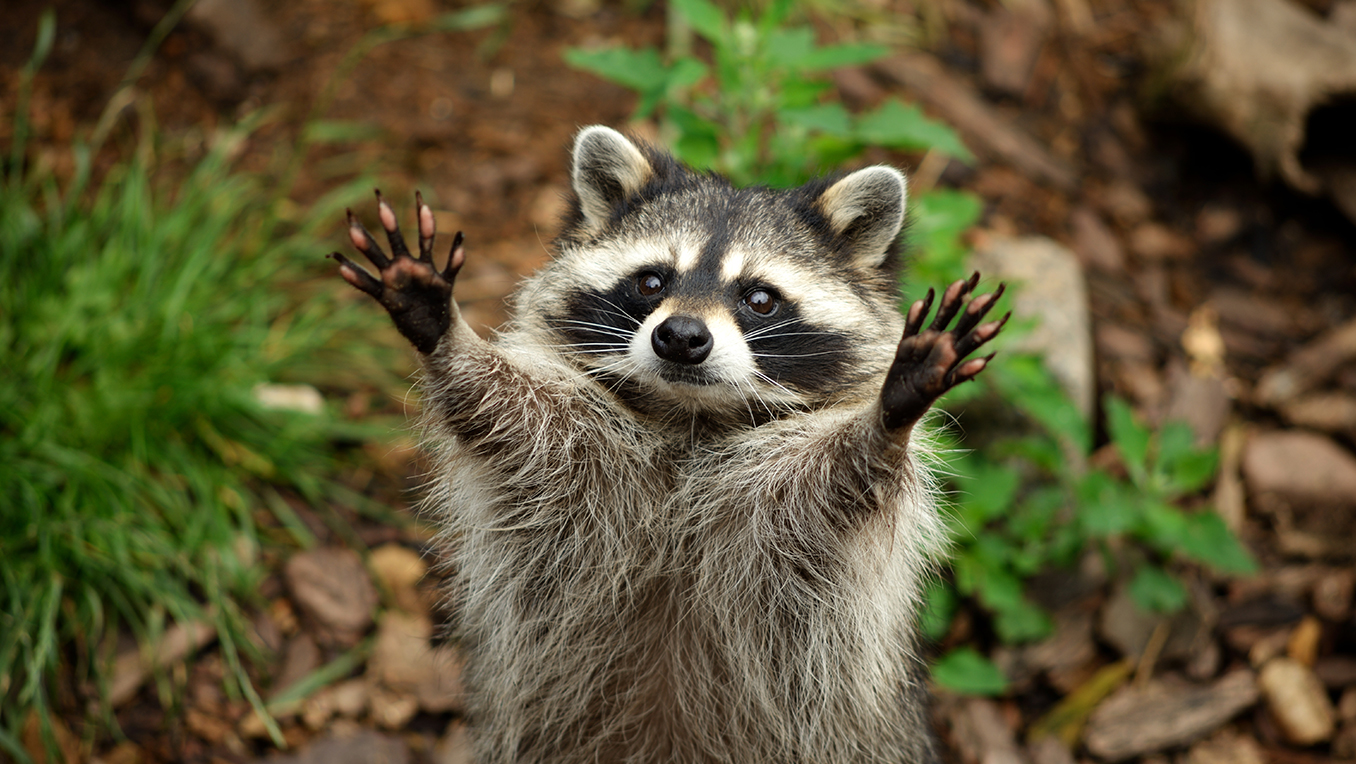 A raccoon stands playfully on its hind legs and looks directly at the camera with both arms raised in the air