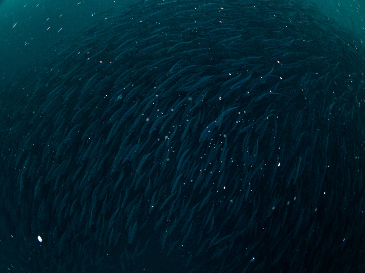 School of herring trying to escape