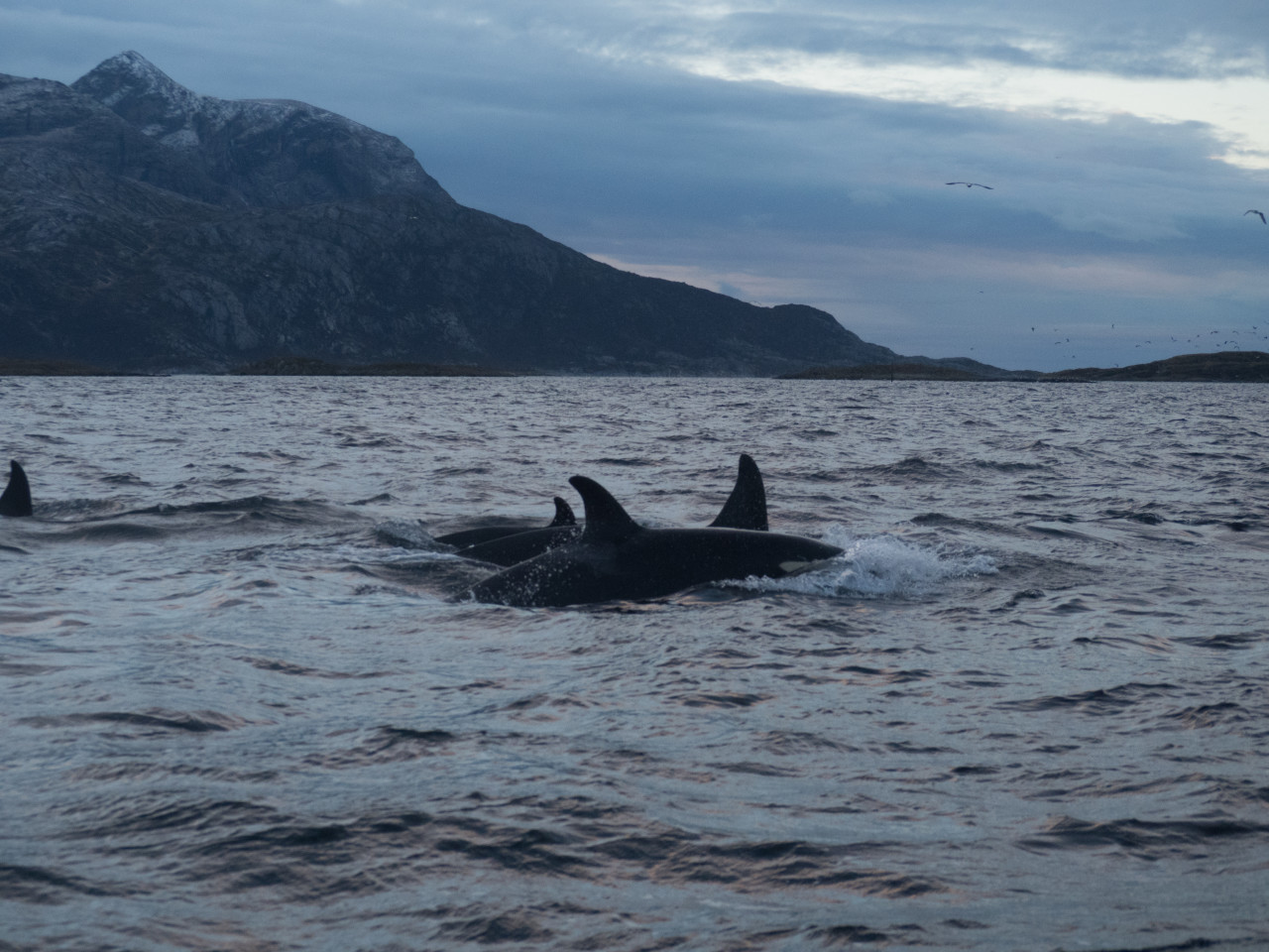 Pod of orcas traveling together