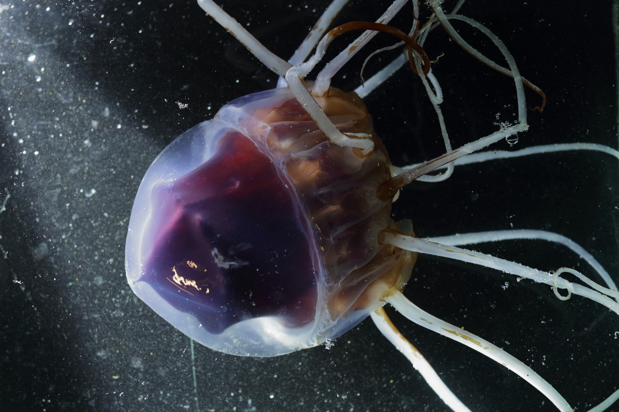 Helmet Jellyfish (Periphylla periphylla)