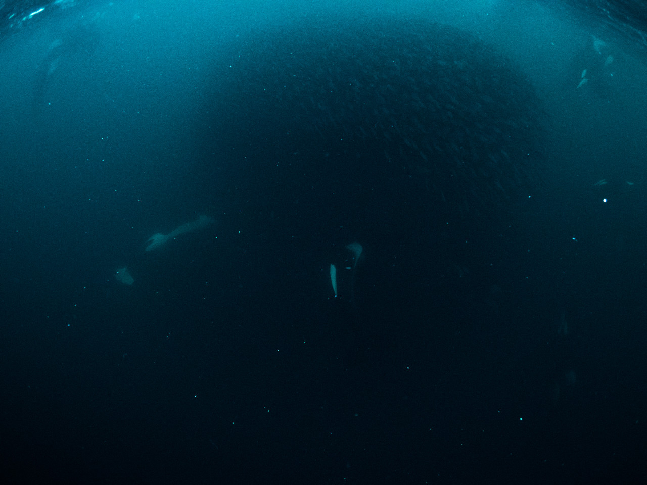 Orcas moving around bait ball