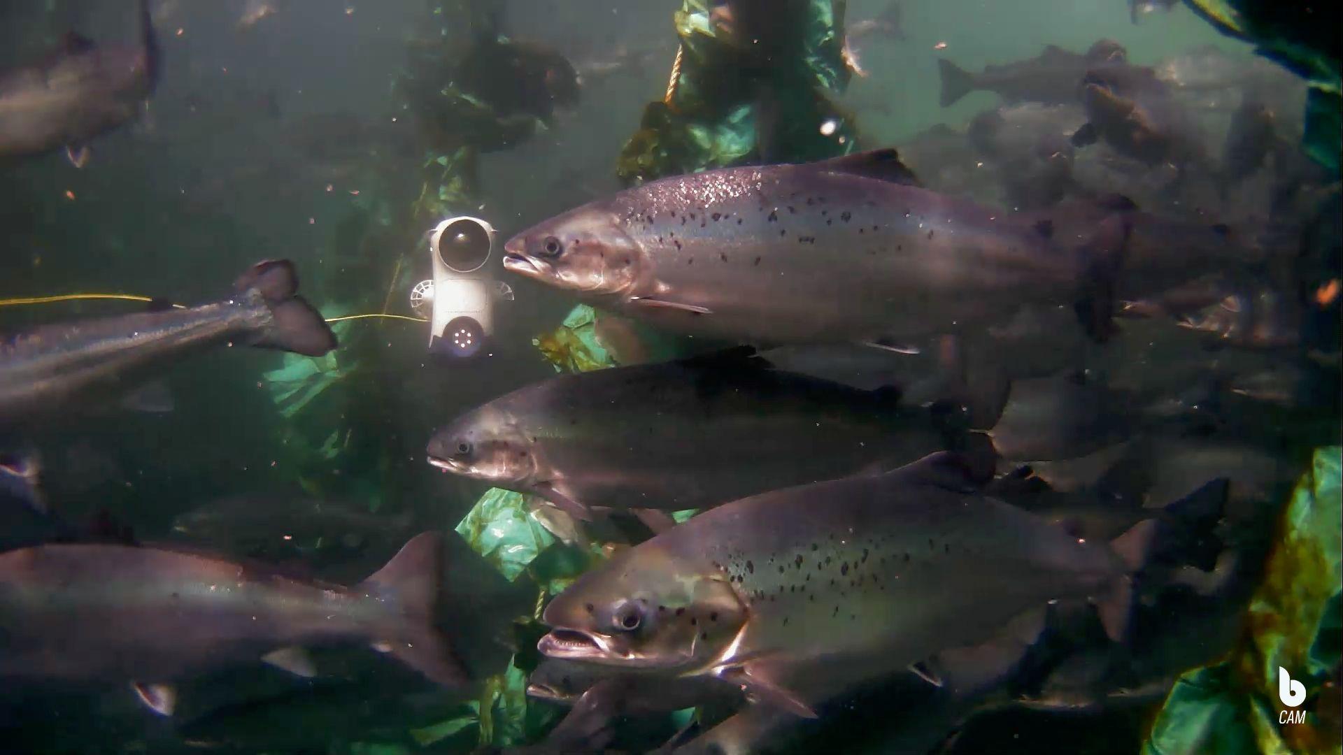 Blueye drone i merden sammen oppdrettsfisk