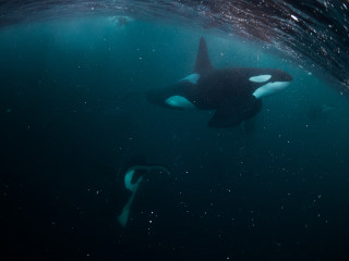 Small snorkler at the surface in the back, large male orca in the front