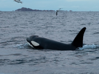Orca moving at surface