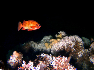 Rosefish swimming over the reef