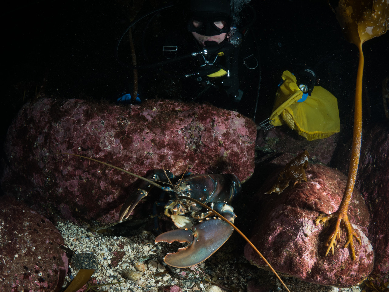 Diver having a look at a large European Lobster