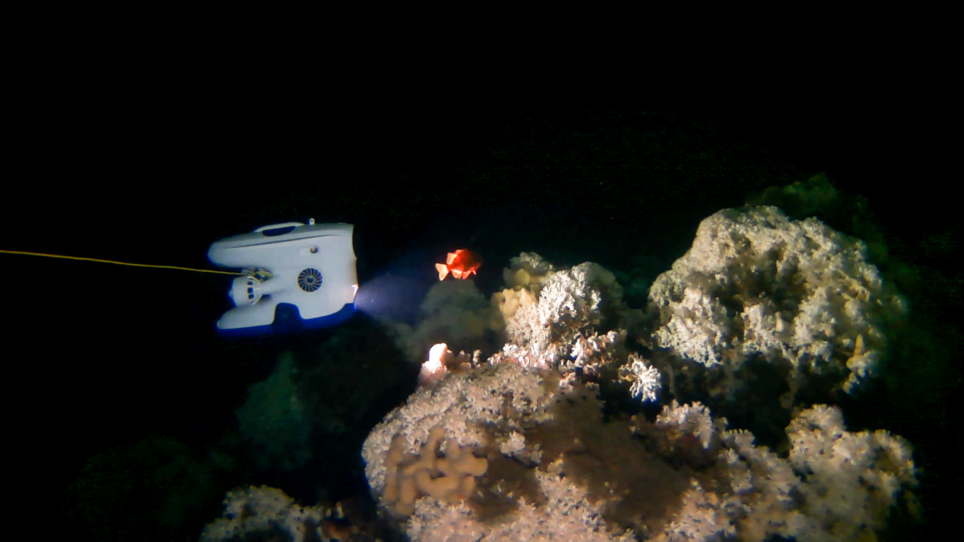 Blueye Pioneer undervannsdronen filming a rosefish (Sebastes viviparus).