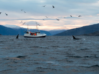 Orcas and humans sharing the rich fjords