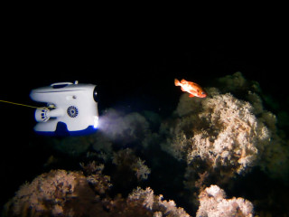 Blueye filming rose fish (Sebastes viviparus)