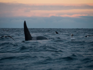 Large male orca in faint winter light