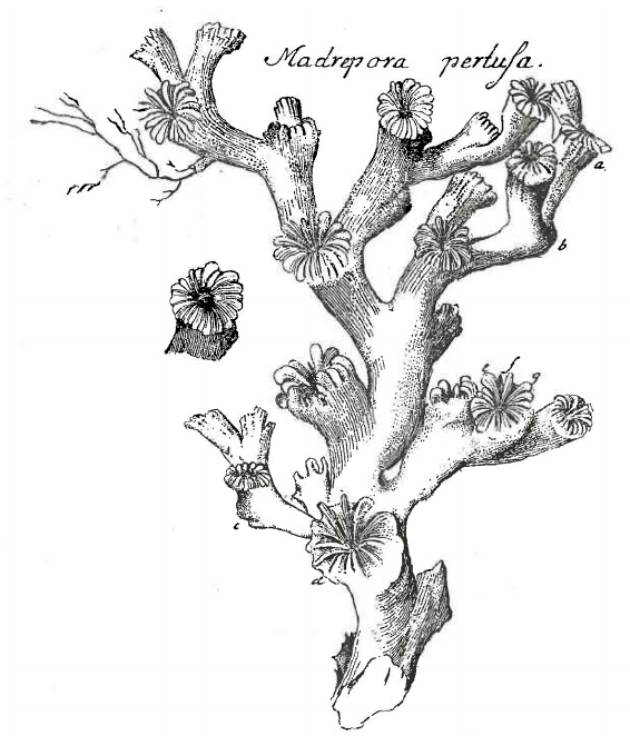 The first illustration of the species Lophelia pertusa, published by Gunnerus in 1768