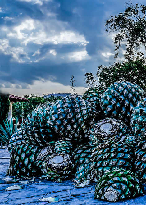 See agave plants across the stages of mezcal production in Oaxaca