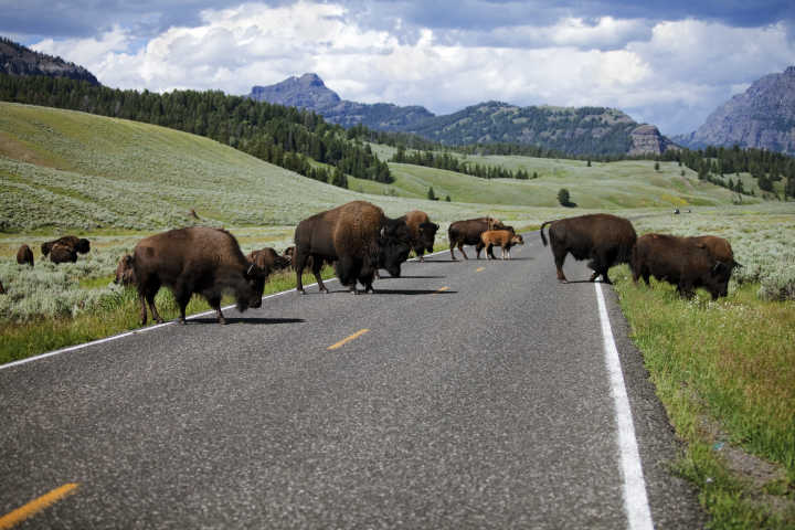 See wild bison in Yellowstone, pictured here crossing the road, as part of a tour of North America