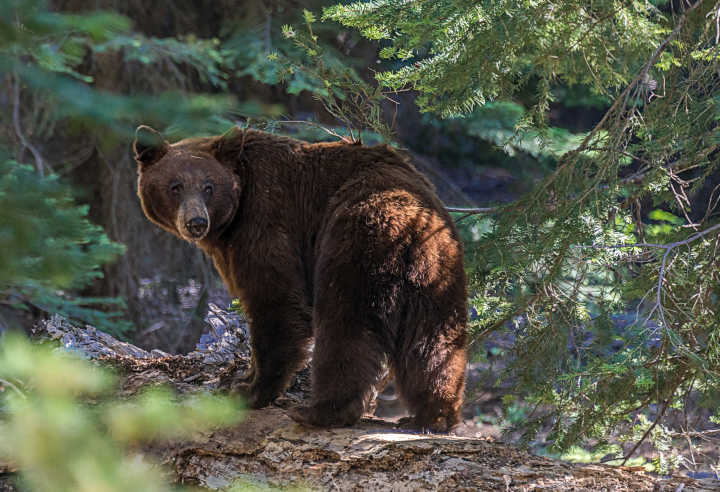 See wild bears, pictured here in Sequoia National Park, as part of a tour of the USA