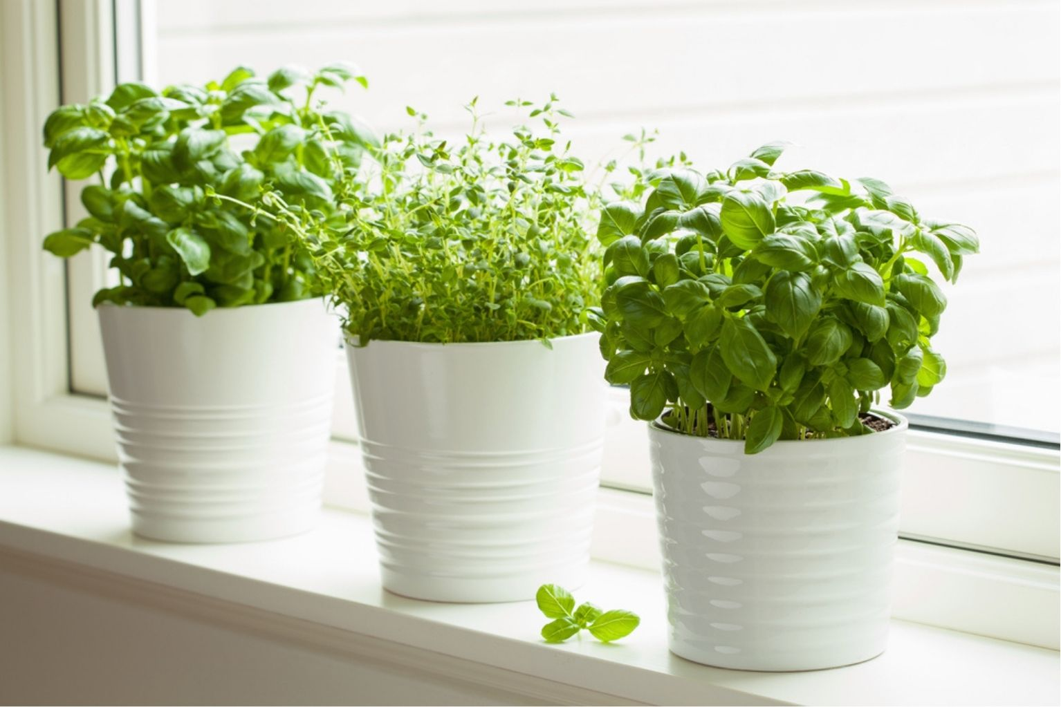Basil, thyme, and mint plants sitting on a windowsill in white pots.