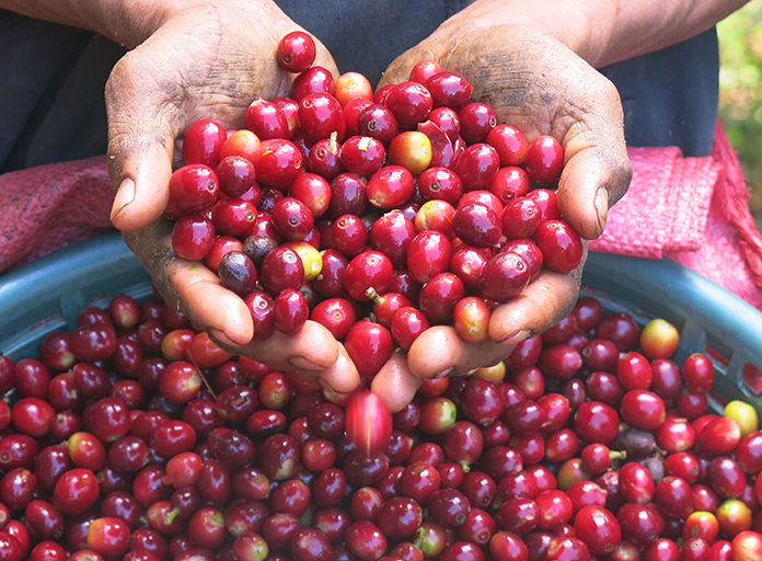 Person holding raw coffee cherries