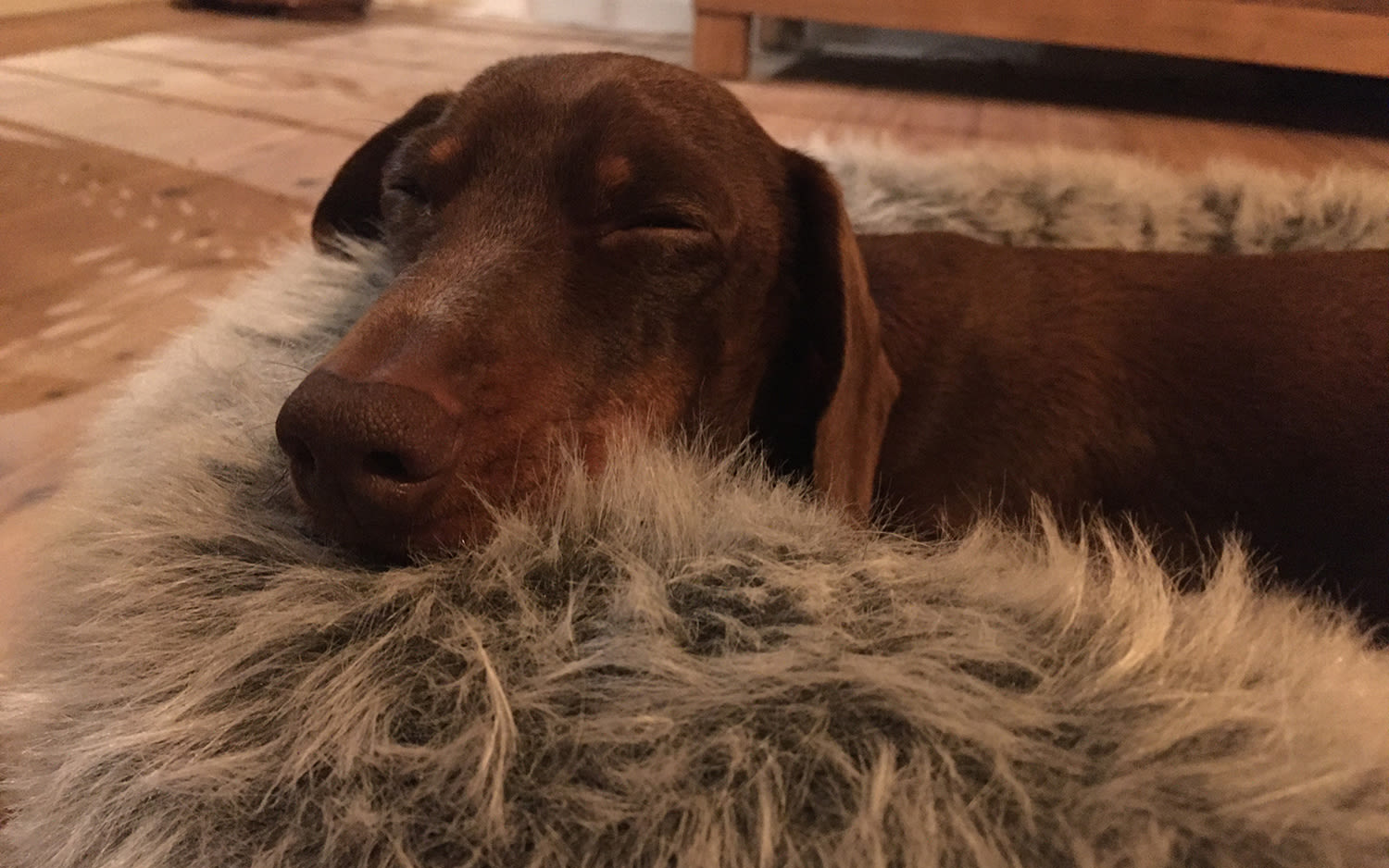 Pipsqueak, the daschund, sleeping in a fluffy dog bed