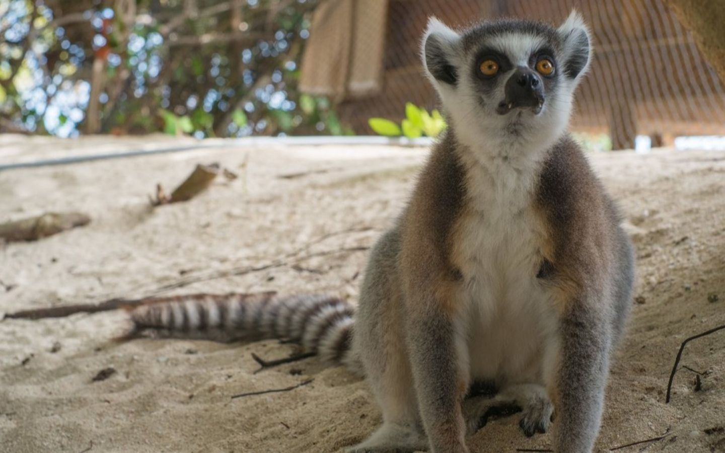 Lemur on Necker Island sitting on the ground
