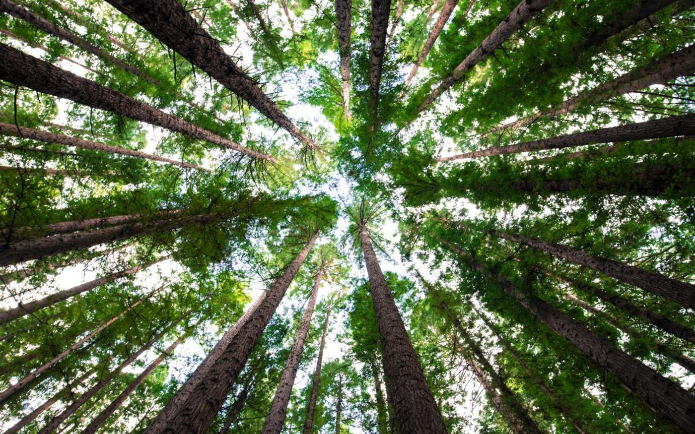 In the centre of a circle of tall trees looking up at the canopy