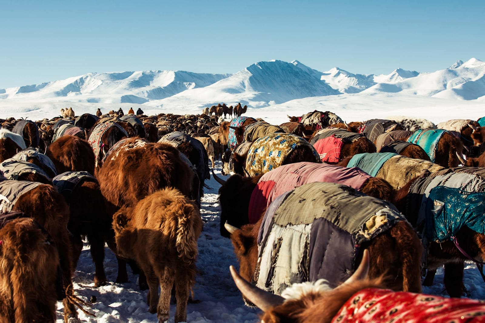 A herd of moose in the snowy mountain region of Mongolia